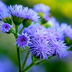 Агератум имеет долгий период цветения