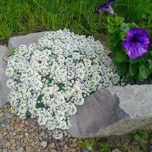 Алиссум порадует обильным цветением летом