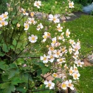 Анемона японская украсит ваш сад
