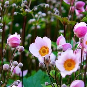 Анемона японская любит солнечные места в саду