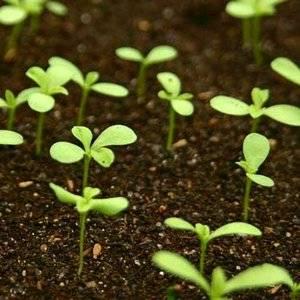 Астра хорошо размножается семенами