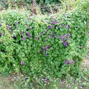 Азарина хорошо смотрится в садовом оформлении