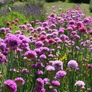 Армерия прекрасно размножается семенами