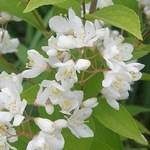 Deutzia amurensis
