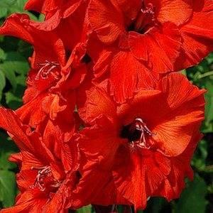 Гладиолус сорта Владимир Высоцкий имеет сочный цвет