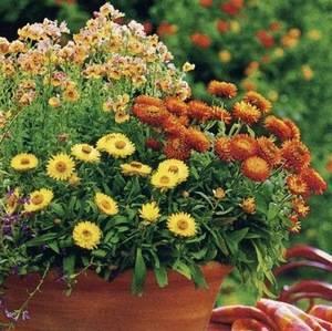 Гелихризум является однолетним растением
