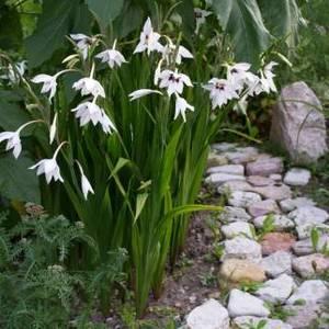 Ацидантера прекрасно подчеркивает садовые цветы