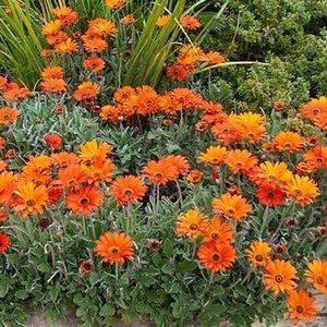 Арктотис прекрасно подходит для садового дизайна