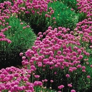 Армерия приморская хорошо смотрится в садовом дизайне