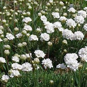 Армерия приморская может иметь белый окрас соцветий