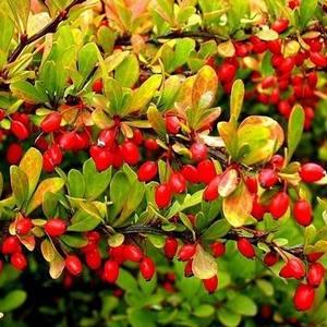 Ягоды барбариса обладают целебными свойствами