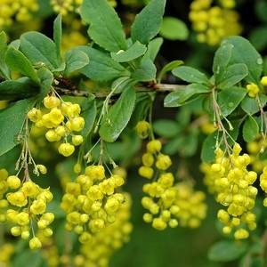 Барбарис цветет желтыми соцветиями