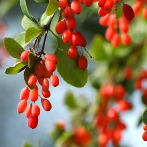 Барабарис используется как противовоспалительное средство