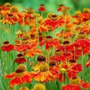 Гелениум осенний украшает сад до поздней осени
