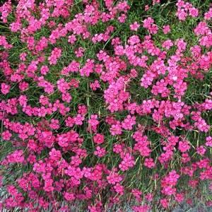 Гвоздика травянка устойчива к засухам