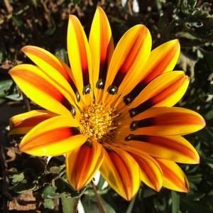 Газания любит солнечные места в саду