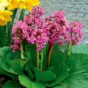 Бадан средцелистный любит освещенные места в саду