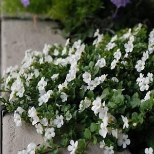 Бакопа ампельная радует обильным цветением