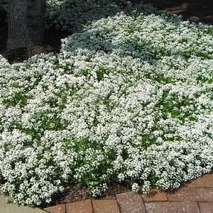 Бакопу можно успешно выращивать из семян