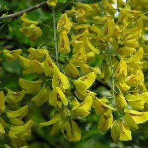 Бобовник цвет обильными желтыми соцветиями