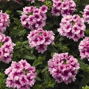 Вербена гибридная используется в садовом дизайне
