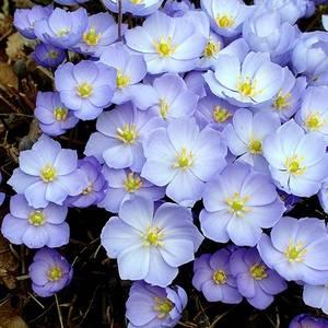 Джефферсония сомнительная является теневыносливым растением