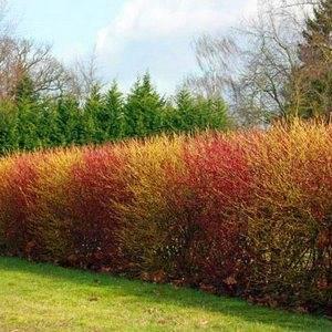Дерен красный может использоваться в качестве живой изгороди