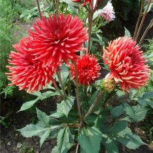 Георгина кактусовая прекрасно подойдет для осенних садов