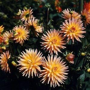 Георгины кактусовые любят просторные участки в саду