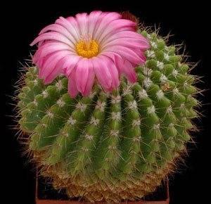 Нотокактус радуем необычным цветением