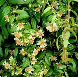 Переския радует обильным цветением