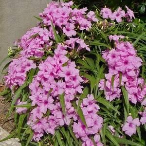 Руэллия радует обильным цветением