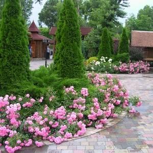 Бордюрная роза предпочитает плодородную почву