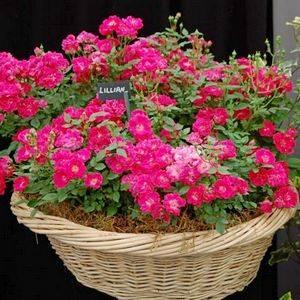 Бордюрная роза предпочитает умеренный полив