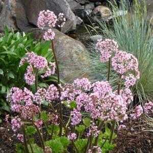 Дармера щитовидная может произрастать в любом саду