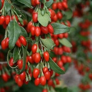 Дереза обыкновенная может быть красивым и полезным растением в саду