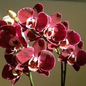 Фаленопсис радует обильным цветением
