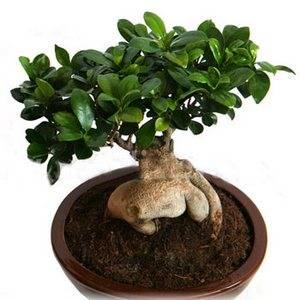 Фикус можно выращивать в в форме бонсай