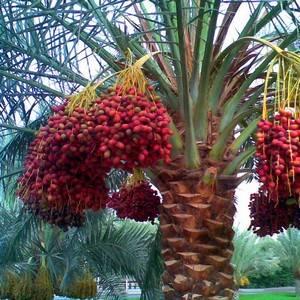 Финиковая пальма может порадовать ценными плодами
