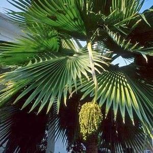 Финиковая пальма предпочитает теплое помещение