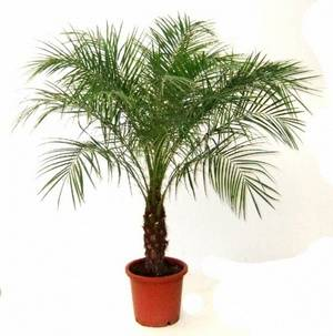 Финиковая пальма нуждается в умеренном поливе
