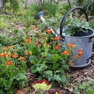 Гравилат можно выращивать на затененных участках