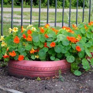 Настурция хорошо подойдет для садового дизайна