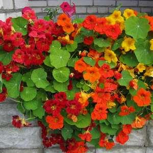 nasturzia-m Настурция: фото, как выглядят сорта и виды настурции, как выращивать цветы и их применение