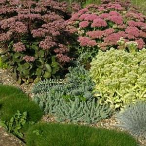Очиток хорошо смотрится в садовом дизайне
