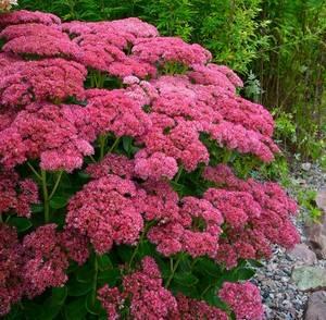 Очиток украсит ваш сад летом и осенью
