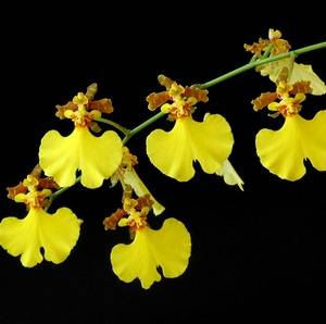 Онцидиум радует продолжительным цветением