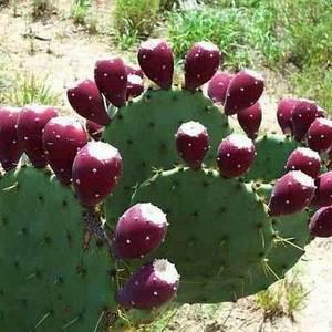 Опунция хорошо размножается вегетативно