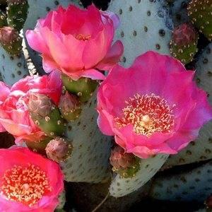Опунция очень красиво цветет