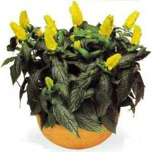 Пхистахис порадует пышным цветением
